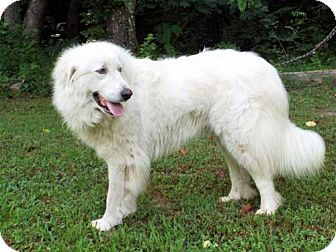 Great Pyrenees Dog for adoption in Allentown, Pennsylvania - DAISY MAE
