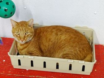 Domestic Shorthair/Domestic Shorthair Mix Cat for adoption in Belleville, Michigan - Little O