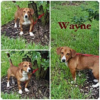 Adopt A Pet :: Wayne - Naples, FL