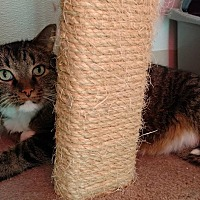Adopt A Pet :: Bentley - Hanna City, IL