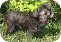 Poodle (Miniature) Dog for adoption in Warren, New Jersey - Bongeur