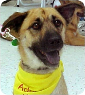 German Shepherd Dog/Retriever (Unknown Type) Mix Dog for adoption in Marina del Rey, California - Brownie