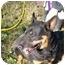 Photo 4 - Doberman Pinscher/Cardigan Welsh Corgi Mix Dog for adoption in No.Charleston, South Carolina - Poppy