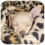 Photo 3 - Chihuahua Puppy for adoption in Los Angeles, California - Chachee :) :)