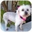 Photo 1 - Maltese/Poodle (Miniature) Mix Dog for adoption in Los Angeles, California - PORTIA