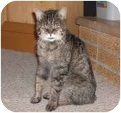 "Domestic Shorthair Cat for adoption in Woodland, Washington - Thumbelina - ""Feisty Granny"""