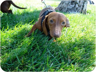 Dachshund Mix Dog for adoption in San Dimas, California - Bella