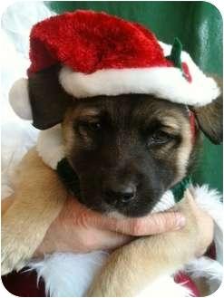 Akita/Australian Shepherd Mix Puppy for adoption in Lancaster, Kentucky - Montanna
