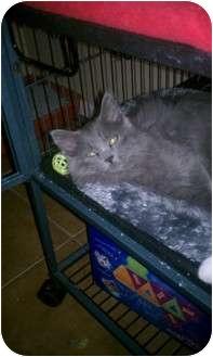 Russian Blue Kitten for adoption in Palm desert, California - SmokeyBlue