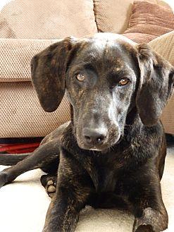 Labrador Retriever/Plott Hound Mix Dog for adoption in Rockaway, New Jersey - Kenzie