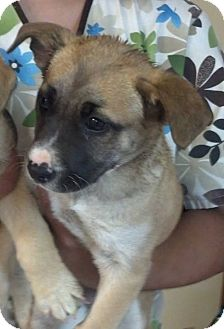 American Staffordshire Terrier Mix Puppy for adoption in Brookings, South Dakota - Ramona