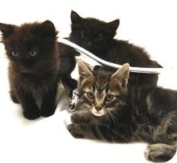 Domestic Shorthair Kitten for adoption in Columbus, Nebraska - Bullet