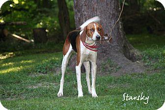 Treeing Walker Coonhound Dog for adoption in Salamanca, New York - Starsky - WONDERFUL SOUL!