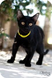 Domestic Shorthair Cat for adoption in Belle Chasse, Louisiana - Linus