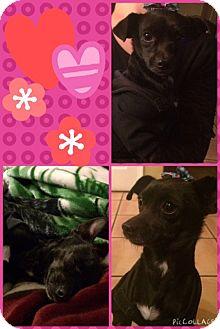 Chihuahua Mix Dog for adoption in Las Vegas, Nevada - Chikita