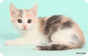 Domestic Shorthair Cat for adoption in Las Vegas, Nevada - Tiffy
