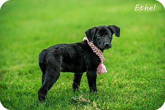 Labrador Retriever Mix Puppy for adoption in Lancaster, Texas - Ethel