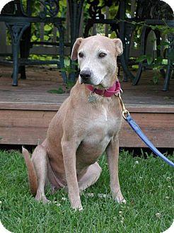 Labrador Retriever Mix Dog for adoption in Pulaski, Tennessee - Layla