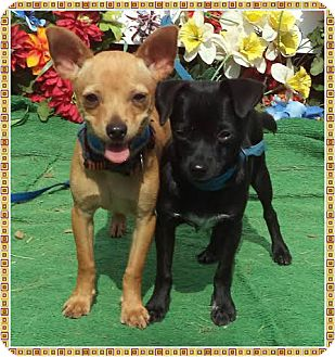 Chihuahua Puppy for adoption in Marietta, Georgia - ELWOOD (R)