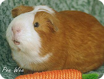Guinea Pig for adoption in Santa Barbara, California - Pee Wee