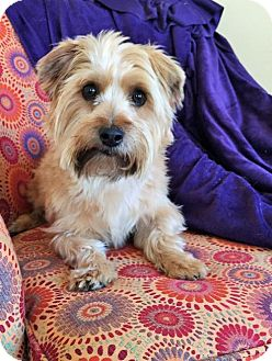 Cairn Terrier Mix Dog for adoption in Buffalo, New York - Fulton