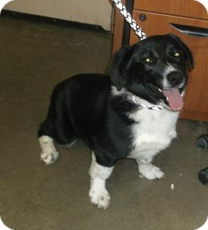 Border Collie/Welsh Corgi Mix Puppy for adoption in Rapid City, South Dakota - Timber