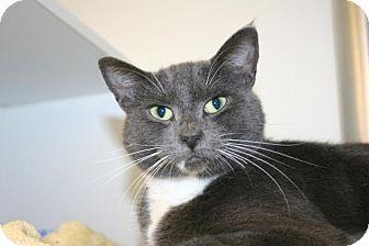 Domestic Shorthair Cat for adoption in Olympia, Washington - 39641