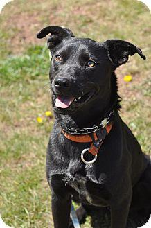 Rottweiler/Labrador Retriever Mix Dog for adoption in Pottsville, Pennsylvania - Gumbo