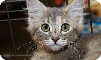 Domestic Mediumhair Kitten for adoption in Irvine, California - Pallas