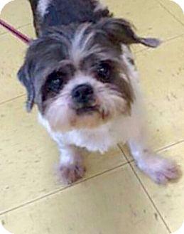 Shih Tzu Mix Dog for adoption in Mount Pleasant, South Carolina - Henri