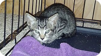 Domestic Shorthair Kitten for adoption in Mims, Florida - Dinky