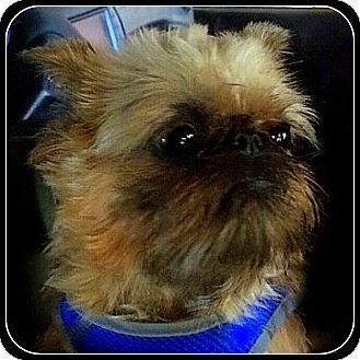 Brussels Griffon Dog for adoption in Seymour, Missouri - SHEBA  - ADOPTION PENDING