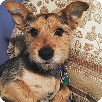Yorkie, Yorkshire Terrier Mix Dog for adoption in Brooklyn, New York - Jack