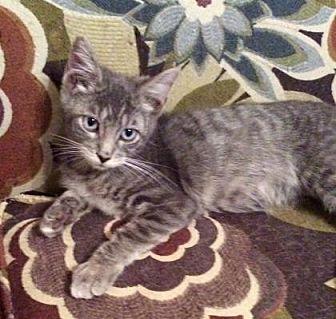 Domestic Shorthair/Domestic Shorthair Mix Cat for adoption in Santa Fe, Texas - Newman