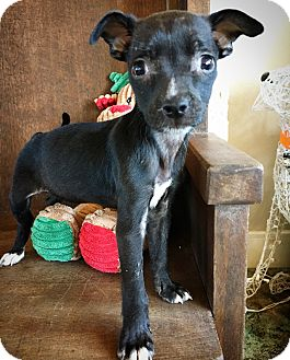 Chihuahua Mix Puppy for adoption in Fredericksburg, Texas - Zinnia