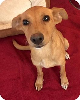 Labrador Retriever Mix Puppy for adoption in Boca Raton, Florida - Mandy