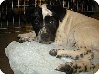 Pointer/Border Collie Mix Puppy for adoption in Melrose, Florida - Juan