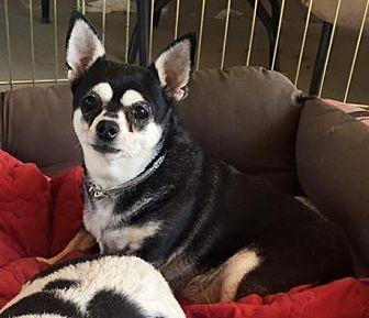 Chihuahua Dog for adoption in Surprise, Arizona - Nina