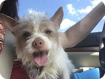 Terrier (Unknown Type, Medium) Mix Dog for adoption in Dallas, Texas - Aries