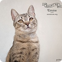 Abyssinian Cat for adoption in Phoenix, Arizona - Emme