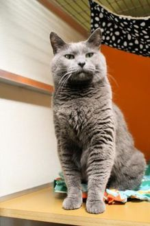 Russian Blue/Domestic Shorthair Mix Cat for adoption in Pequot Lakes, Minnesota - Missy