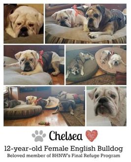 English Bulldog Mix Dog for adoption in Everett, Washington - Chelsea