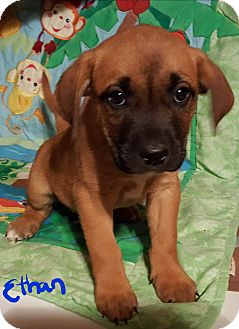 Boxer/German Shepherd Dog Mix Puppy for adoption in Burlington, Vermont - Ethan