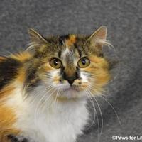 Domestic Longhair/Domestic Shorthair Mix Cat for adoption in Heber, Utah - Margaret