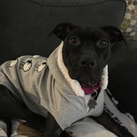 Adopt A Pet :: Roxie - Lansing, MI