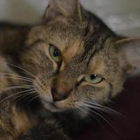 Adopt A Pet :: Dorito - Fallston, MD