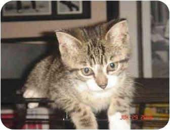 Domestic Shorthair Kitten for adoption in Colmar, Pennsylvania - Sweet Tina