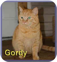 Domestic Shorthair Cat for adoption in Aldie, Virginia - Gordy