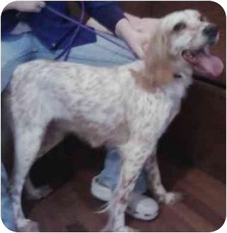 English Springer Spaniel Mix Dog for adoption in Meherrin, Virginia - Gerdie