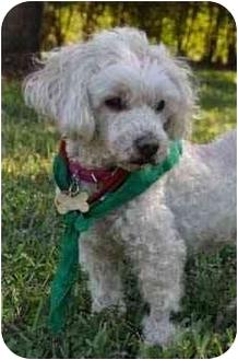 Miniature Poodle Dog for adoption in Melbourne, Florida - BELLEM